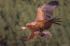 Buitre (AvideCai) Tags: avidecai tamron70200 animales fauna pajaros hide
