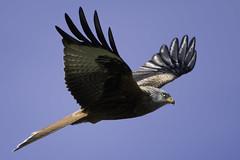 Shooting The Breeze (Scrib Photography) Tags: raptor redkite kite hamerton hamertonzoo birdsofprey eagle birds feathers