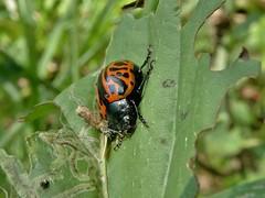 Calligrapha serpentina (Rogers, 1856) (carlos mancilla) Tags: insectos escarabajos beetles calligraphaserpentinarogers1856 calligraphaserpentina chrysomelidae chrysomelinae olympussp570uz escarabajocalígrafodelahoja globemallowleafbeetle