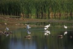 Snowy Egrets (Boulder Flying Circus Birders) Tags: snowyegret egrettathula snowyegretcolorado snowyegretboulder wildbirdboulder wildbirdcolorado boulderflyingcircusbirders freebirdwalk saturdaymorningbirders stevefrye