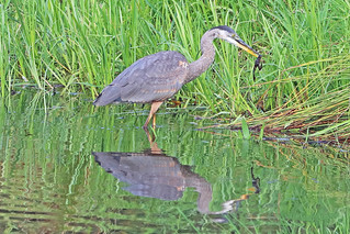Great Blue Heron 18-0901-0902
