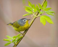 Country Singer (Doug Scobel) Tags: ohio nashville warbler oreothlypis ruficapilla magee marsh migration bird passerine nashvillewarbler springmigration