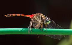 Ruby Meadowhawk ? (arlene sopranzetti) Tags: ruby meadowhawk dragonfly union county nj insect macro red