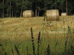 IMG_2147 (germancute) Tags: nature outdoor wiese wildflower wald walk sommer summer landscape landschaft thuringia thüringen