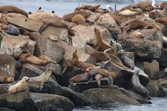Club Pinniped (Gunn Shots.) Tags: sealion sealions pinniped montereybay