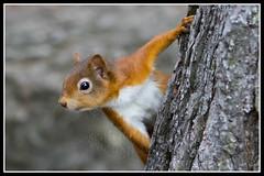 IMG_0047 Red Squirrel (Scotchjohnnie) Tags: redsquirrel sciurusvulgaris squirrel squirrelphotography rodent wildanimal wildlife wildlifephotography wildandfree nature naturephotography naturewildlifeandbirds canon canoneos canon7dmkii canonef70200mmf28lisiiusm scotchjohnnie mammal