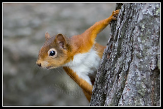 IMG_0047 Red Squirrel