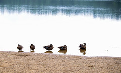 Ducks at Lucas Pond (Violet aka vbd) Tags: pentax k1ii k1markii hdpentaxda55300mmf4563edplmwrre nh newhampshire ducks newengland shore lucaspond beach northwoodnh birds handheld manualexposure 2018 summer2018 mallards vbd
