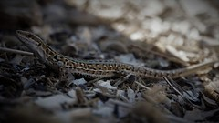 lizard (yakkay43) Tags: izardeidechse echselacertaeidechse