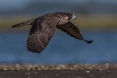 Peregrine Falcon (Kevin Fox D500) Tags: peregrinefalcon peregrine falcon stoneharbor stoneharborpoint newjersey nature nikond500 nikon sigma150600sport sigma shorebirds shorebird bird birding birdwatching birds