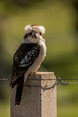 _D507773 (crispiks) Tags: birdlife chiltern forest mount pilot national park north east victoria nikon d500 200500 f56