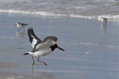 Oystercatcher (j shew) Tags: njshore islandbeachstatepark oystercatcher jersey shore