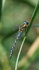 Aeshna Mixta - 105mm Macro (Visual Stripes) Tags: dragonfly odonata insect invertebrate aeshna mixta panasoniclumixg1 sigma105mm macro bokeh