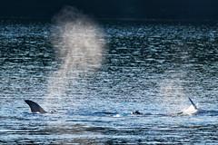 Orca Hunt (ferglandfoto) Tags: d5c1420 orca orcas transientorca transientorcapod transientorcas transientkillerwhale killerwhale killerwhales orcinusorca whale whalewatching whalephotography nature naturepicture naturepic natureshot naturephotography pnw ferglandfoto