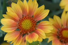 Arizona Apricot Blanket Flower (Paul den Ouden) Tags: flowers floral flora powellriver yellow