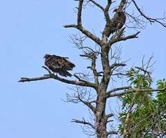 Vultures in a tree (DCHall) Tags: canon 40d eos canon40d vultures trees nature bird