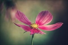 precious (***étoile filante***) Tags: pentax flower blume bokeh bokehlicious beauty beautiful life leben nature natur poetic emotional soulful light licht macro nahaufnahme details dof smooth sanft soft