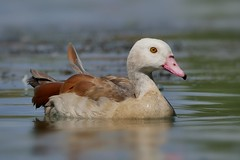 Egyptian goose (PhotoLoonie) Tags: egyptiangoose goose waterbird wildlife nature