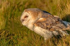 Screech (Worldthroughmyiris) Tags: owl ornitology owls ourplanetdaily wildlife wildlifephotography wingspan ukwildlife nature naturebrilliance bird birdwatcher birdsofprey bbcspringwatch birdphotography birds raptors