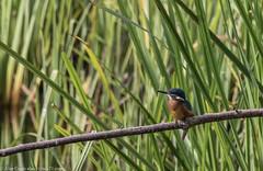9Q6A3023 (2) (Alinbidford) Tags: alancurtis brandonmarsh kingfisher nature wildbirds wildlife