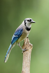 Blues and Greens (Neal_Lewis) Tags: jay bluejay bird corvid