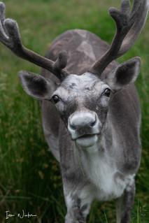 Woodland Caribou-SNR-18-11