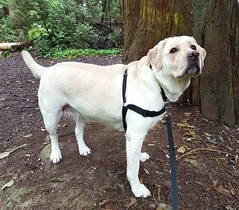 Gracie in the nearby woods (walneylad) Tags: gracie dog canine pet puppy lab labrador labradorretriever cute september summer morning westlynn