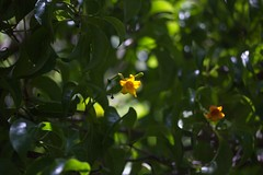 Yellow Green   19 (LarryJay99 ) Tags: mountsbotanicalgardens westpalmbeach florida canon60d 60mm nature outdoor foliage