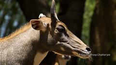 nilgai (Soumyaroop) Tags: bengaluru karnataka india in zoo animals national park nilgai