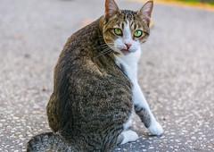 Cat (trebandicoot (Lynn)) Tags: cat animal feline street attitude mouth alley australia newfarm eyes greeneyes pet thelook expression character face whiskers territory