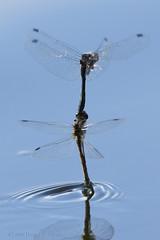 Laying eggs... (danielusescanon) Tags: tandem pair dragonfly blackmeadowhawk laying eggs water reflectionslake alaska