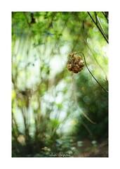 2018/8/24 - 6/12 photo by shin ikegami. - SONY ILCE‑7M2 / New Jupiter 3+ 1.5/50 L39/M (shin ikegami) Tags: 紫陽花 flower 花 井の頭公園 吉祥寺 summer 夏 sony ilce7m2 sonyilce7m2 a7ii 50mm lomography lomoartlens newjupiter3 tokyo sonycamera photo photographer 単焦点 iso800 ndfilter light shadow 自然 nature 玉ボケ bokeh depthoffield naturephotography art photography japan earth asia