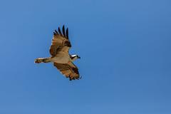 Flying Osprey (Photomatt28) Tags: evergladesnationalpark florida natureparks
