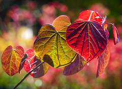 """Shimmering Hearts"" The Forest Pansy Redbud (Cathy Lorraine) Tags: redbud tree foliage newportbeach california leaves colorful radiant shimmering glistening light shadows bokeh"