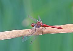 Ruddy Darter - Michael Bird (Michael R Bird) Tags: ruddydartersympetrumsanguineumskylarksnaturereserve nottingam nottinghamshire ruddy darter dragonfly dragonflies skylarks canon f28l