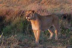 IMGP7958 Early morning walk (Claudio e Lucia Images around the world) Tags: serengeti tanzania lion lioness tree climbing jump jumping africa cat bigcat feline savana sunrise pentax pentaxk3ii sigma sigma50500 bigma sigmaart pentaxart nationalgeographic africageographic animale erba cielo campo paesaggio cub younglion lioncub eyes eyescontact mammifero orso albero