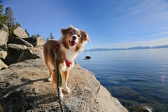 Laika by Lake Tahoe, NV (ynaka29) Tags: laika dog aussie toyaussie australianshepherd toyaustralianshepherd redmerle lake laketahoe nevada