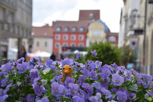 Ducky in pansies