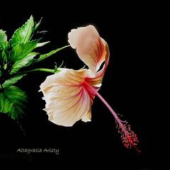 Hibisco/Hibiscus (Altagracia Aristy Sánchez) Tags: hibisco hibiscus quisqueya repúblicadominicana dominicanrepublic caribe caribbean caraibbi antillas antilles trópico tropic américa fujifilmfinepixhs10 fujifinepixhs10 fujihs10 altagraciaaristy fondonegro sfondonero blackbackground