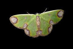 Green Moths of Panama (Over 6 million views!) Tags: synchlora idme moth panama green