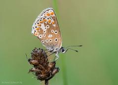 Polyommatus icarus (De Hollena) Tags: blauwtje bläuling butterfly commonblue hauhechelbläuling icarusblauwtje mariposa papillon polyommatusicarus schmetterling