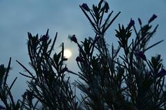 Zottiges Weidenröschen (Epilobium hirsutum) träumt vom Herbst; Bergenhusen, Stapelholm (4) (Chironius) Tags: stapelholm bergenhusen schleswigholstein deutschland germany allemagne alemania germania германия niemcy morgendämmerung sonnenaufgang morgengrauen утро morgen morning dawn sunrise matin aube mattina alba ochtend dageraad zonsopgang рассвет восходсолнца amanecer morgens dämmerung nebel fog brouillard niebla rosids malvids myrtales myrtenartige onagraceae nachtkerzengewächse onagroideae epilobium weidenröschen silhouette