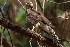 Reflecting Coopers Hawk (MelRoseJ) Tags: sonyalpha sony sonyilca77m2 sal70200g a77ii alpha autofocus nature northerncalifornia bayarea birds