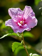 flowers of August (uiriidolgalev) Tags: flowers august