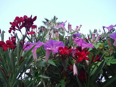 DSCF4932 (classroomcamera) Tags: outside outdoors red violet purple green flower flowers sky skies white leaf leaves petal petals grow grows growing growth garden gardens gardener gardeners gardening landscape landscapes landscaping