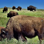 Bison Grazing on Prairie Grasses (Theodore Roosevelt National Park) thumbnail