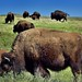 Bison Grazing on Prairie Grasses (Theodore Roosevelt National Park)