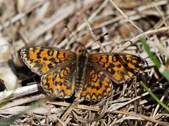 EM161477_DxO.jpg (riccardof55) Tags: farfalla