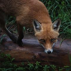 Wild encounter (Valérie C) Tags: nikon 70300mm switzerland fauna country wild fox animal forest woods nature wildanimal rain redfox