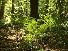 Sutschketal_e-m10_1017175372 (Torben*) Tags: olympusm25mmf18 olympusomdem10 rawtherapee brandenburg krummensee sutschketal naturschutzgebiet farn fern